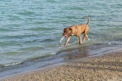 Leksaken för fetchen för den Bullmastiff blandningen parkerar den bärande på en hund stranden Arkivfoto