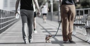 Leksakhunden ser traditionellt till en mycket liten hund eller gruppera av små och mycket små avel av hunden Royaltyfri Fotografi