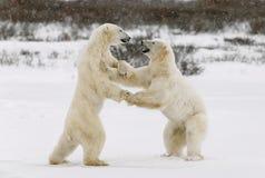 Lekstridighet för två isbjörnar. Royaltyfria Foton