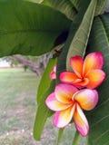 Lelawadee-Blume stockfotografie