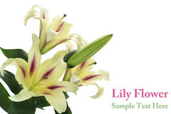 Lelie Royalty-vrije Stock Fotografie