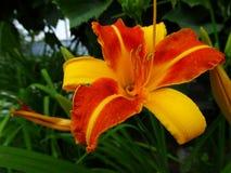 Lelie - de decoratie van om het even welke tuin Royalty-vrije Stock Foto's