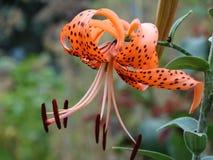Lelie - de decoratie van om het even welke tuin Royalty-vrije Stock Fotografie