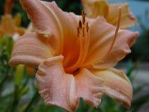 Lelie - de decoratie van om het even welke tuin Stock Fotografie