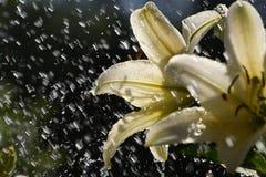Lelie in de regen Stock Fotografie