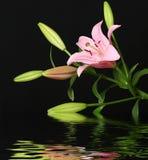 Lelie die in water wordt weerspiegeld Stock Foto's