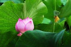 Lelie en bladeren Royalty-vrije Stock Afbeelding