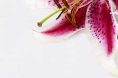 Lelie enkel bloem in hoek met witte exemplaar ruimteachtergrond Royalty-vrije Stock Afbeeldingen
