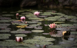 Lelie Nikitskiy botanicheskiy Tuin Royalty-vrije Stock Afbeeldingen