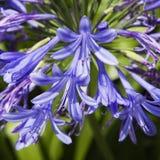 Lelie van de bloem van Nijl. Stock Foto