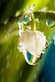 Lelie-van-de-vallei in de regen Royalty-vrije Stock Afbeeldingen