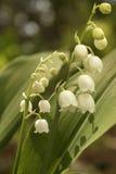 Lelie-van-de-vallei (majalis Convallaria) Stock Afbeeldingen