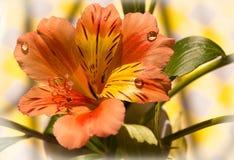 Leliebloem met dauwdalingen Stock Foto