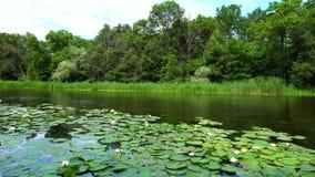 Leliebloemen in het meer stock videobeelden