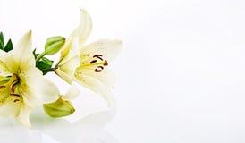Leliebloemen over achtergrond met exemplaarruimte Stock Afbeelding