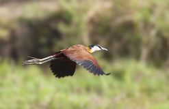 Lelieloper, African Jacana, Actophilornis africanus royalty free stock photo