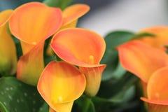 Lelies calla оранжевого желтого цвета собранные совместно Стоковое Фото