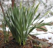 Lelies in de Sneeuw Royalty-vrije Stock Foto's