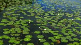 Lelies die boven op een Bacalar, de lagune van Mexico drijven stock videobeelden