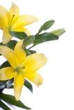 Lelies die over witte achtergrond worden geïsoleerdl Royalty-vrije Stock Foto