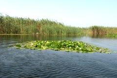 Lelies in een kanaal in Donau-delta royalty-vrije stock fotografie