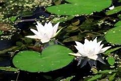 Lelies in een vijver Royalty-vrije Stock Foto