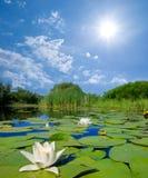 Lelies en een zon Royalty-vrije Stock Afbeelding