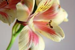 Lelies II van de lente Stock Foto