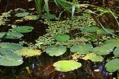 Lelies in zwart-Water royalty-vrije stock foto's