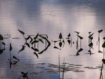 Leliesilhouetten die de oppervlakte van het water overdenken royalty-vrije stock afbeeldingen