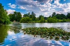 Leliestootkussens in de vijver in Patterson Park in Baltimore, Maryland Stock Fotografie