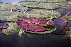 Leliestootkussens in een rivier Royalty-vrije Stock Afbeeldingen