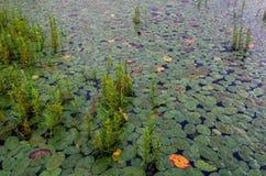 Leliestootkussens, Keokee-meer, Virginia stock fotografie