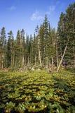 Leliestootkussens op Isa Lake royalty-vrije stock fotografie