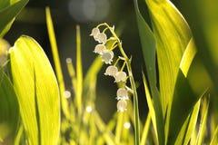 Lelietje-van-dalen backlit door de het toenemen zon stock afbeelding