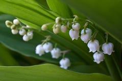 Lelietje-van-dalen (Convallaria) Royalty-vrije Stock Afbeelding