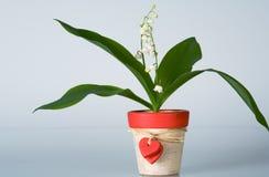 Lelietje-van-dalen in een bloempot stock foto