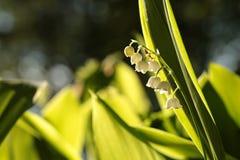 Lelietje-van-dalen in het bos op een sunnny de lenteochtend royalty-vrije stock fotografie