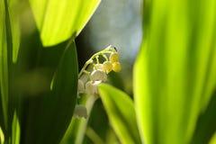 Lelietje-van-dalen in het bos op een sunnny de lenteochtend stock foto
