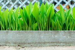 Lelietje-van-dalen het groeien in het land Stock Foto's