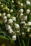 Lelietje-van-dalenbloemen op groene achtergrond Convallaria maj Stock Foto