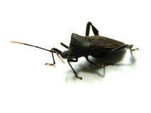 Lelijk Insect Stock Foto's
