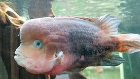 Lelijk-kijkend vissen stock foto