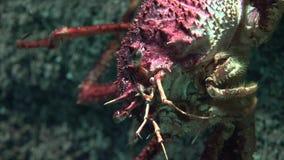 Lelijke schaaldier onderzees stock footage