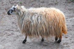 Lelijke schapen Stock Foto's