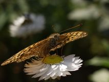 Lelijke vlinder met mooie bloem stock fotografie
