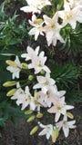 lelui karciani tło kwiaty wzywają szablonu cechy ogólnej sieć zdjęcia stock