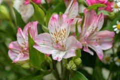 lelui karciani tło kwiaty wzywają szablonu cechy ogólnej sieć Fotografia Royalty Free