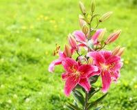 lelui karciani tło kwiaty wzywają szablonu cechy ogólnej sieć obraz royalty free