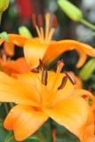 lelui kolor żółty Fotografia Royalty Free